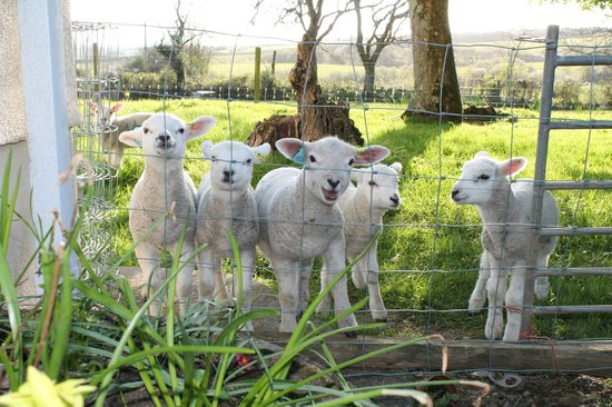 Rosehill Farm Bed and Breakfast: Lambs