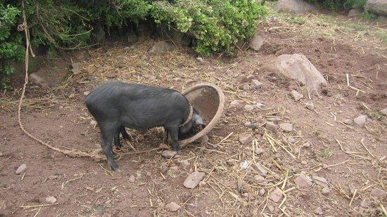 Hospedaje Samary: cochon