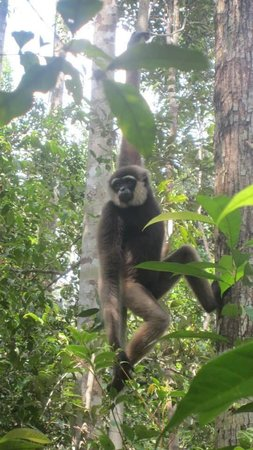 Wild Orangutan Tours - Day Tours: Gibbons hanging out at Camp Leakey