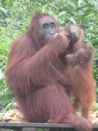 Wild Orangutan Tours - Day Tours: Ahmad and her baby Algis, Ahmad is 42 and this is her 6th baby, Camp Leakey