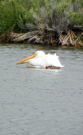 Hunter's Hot Springs Resort: Wildlife - White Pelican