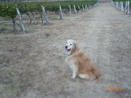 Misty Glen Wines: Chardonnay at Misty Glen