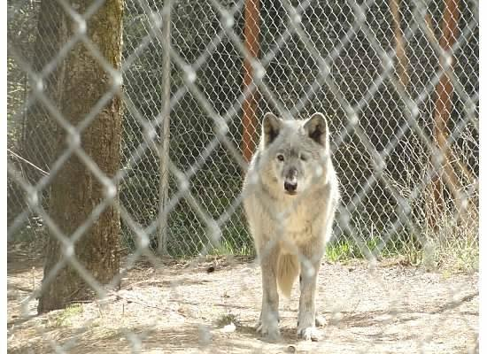 timber arctic wolf mix picture of wolf people cocolalla tripadvisor
