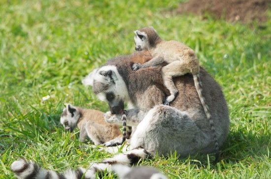 Wingham Wildlife Park: Baby Lemurs!