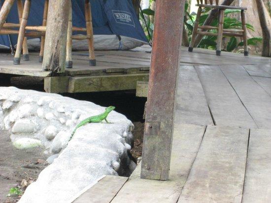 Lirio Lodge Barra de Pacuare: just a little lizard roaming the grounds