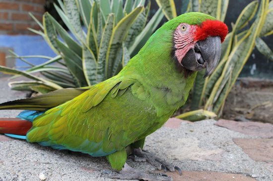 Sunset Plaza Beach Resort & Spa: Macaw from resort across the street