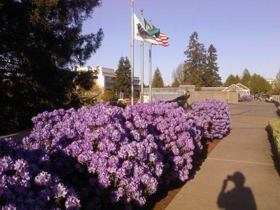 Washington State Capitol: Azaleas!