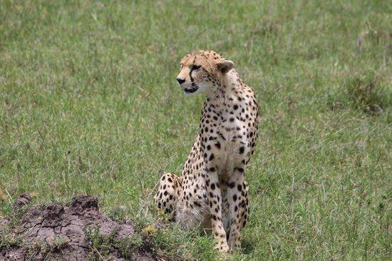 Mara Leisure Camp: Cheetah