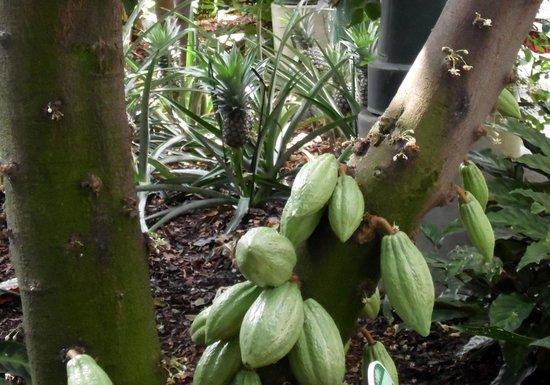 United States Botanic Garden: Cacao