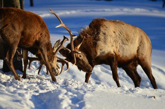 Parc Oméga : Deer playing around
