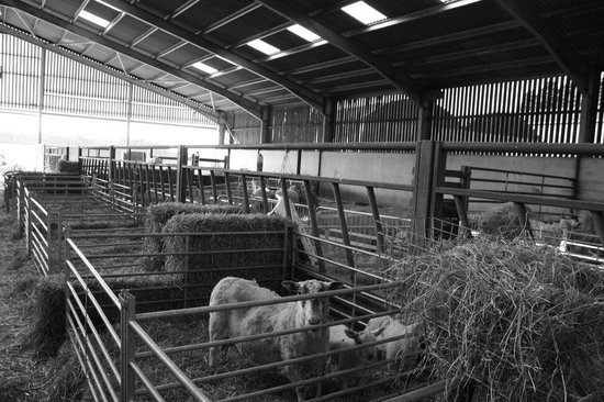 Poulton Grange: Last few lambs left in the lambing barn.