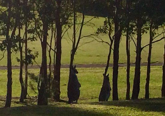 Chateau Elan Hunter Valley: Kangaroos in the back yard