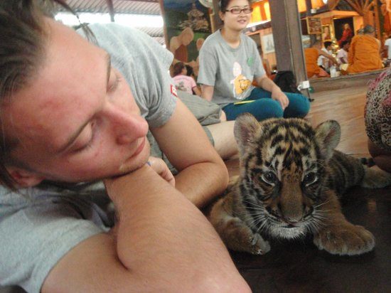 Tiger Temple ( Wat Pa luang Ta Bua) : cuddles with this sweet little cub