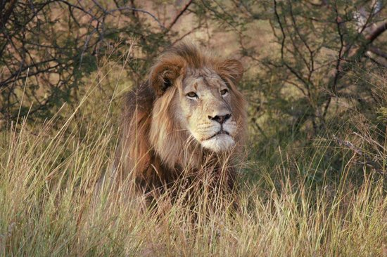 Mongena Game Lodge : Male Lion at Mongena