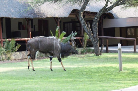 Mongena Game Lodge : Njala bull roaming the lawns of the Lodge