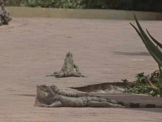 Lions Dive & Beach Resort Curacao: iguanas