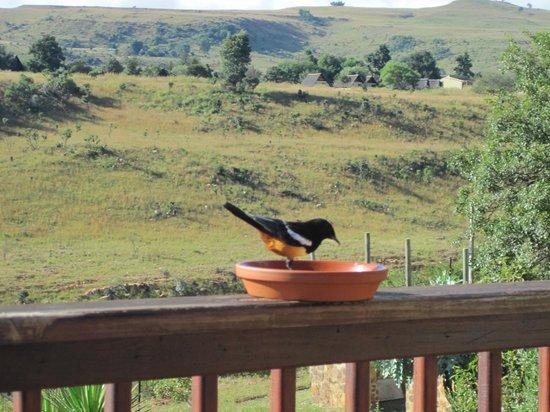 Acra Retreat - Mountain View Lodge - Waterval Boven: Bird feeding