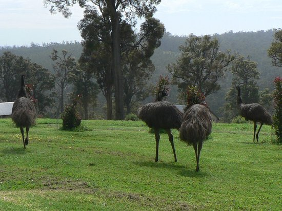 Scarlet Woods Chalets: Family of emus visit