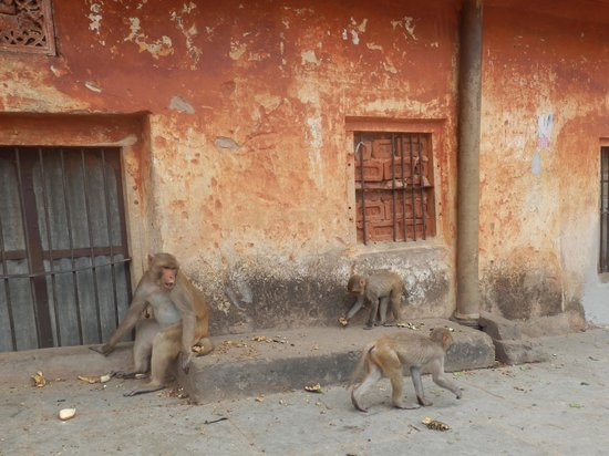 Monkey Temple (Galta Ji): Group of monkeys