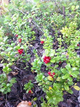 Santa Claus Holiday Village: летом ягодами всё усыпано