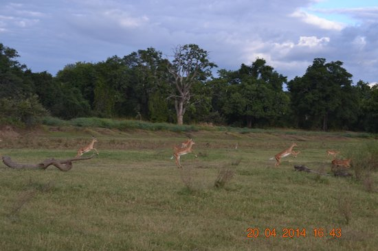 Thornicroft Lodge: Impalas at the Gym, practing how to outrun the Cats!