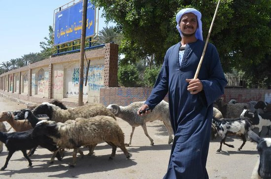 Cairo-Overnight Tours : On the way to Giza we had to stop for a herd of goats to cross