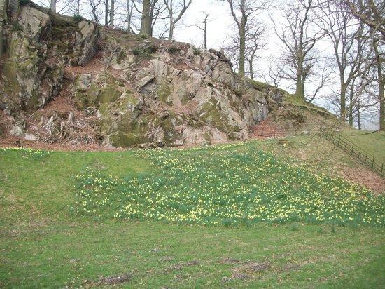Allan Bank: Daffodil garden