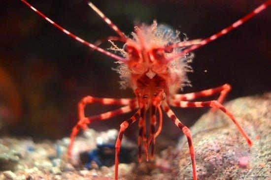 Monterey Bay Aquarium: Langostino