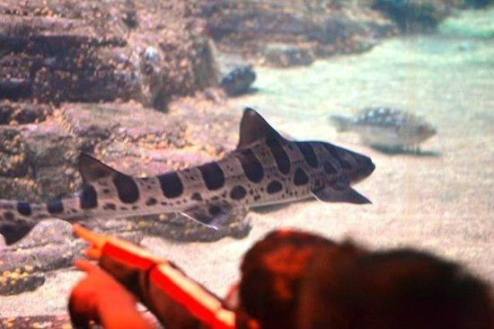Monterey Bay Aquarium: Tiburon Tigre