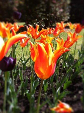 tulipe variete