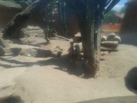 La Aurora Zoo : zuricatos