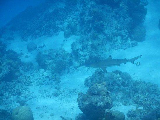 Cinnamon Dhonveli Maldives: Blacktip Shark