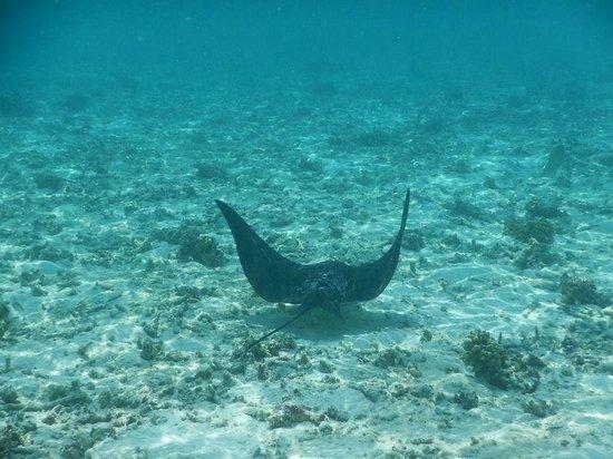 Cinnamon Dhonveli Maldives: Eagle Stingray