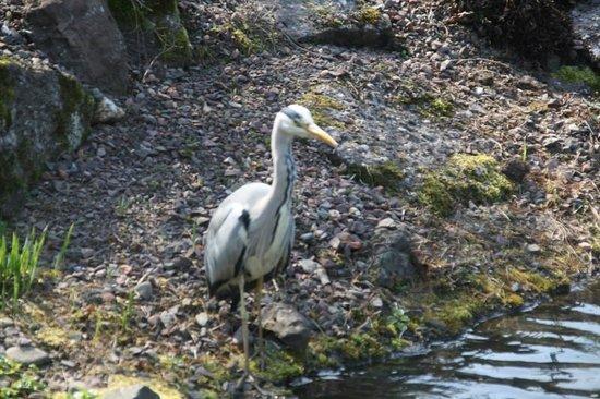 Royal Botanic Garden Edinburgh: Heron