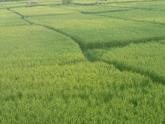 The Lovina: looking at rice paddies