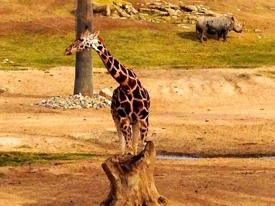 San Diego Zoo: Giraffe