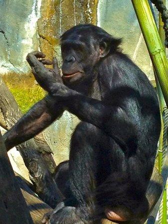 San Diego Zoo: Ape