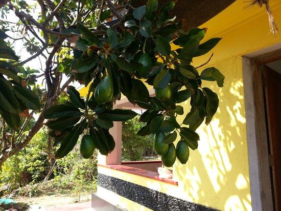 Ananda Home Stay : Fresh avocados!!