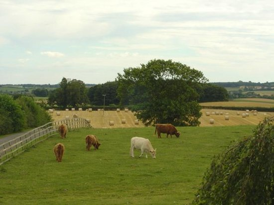 Mill Close Farm: Highland cattle grazing