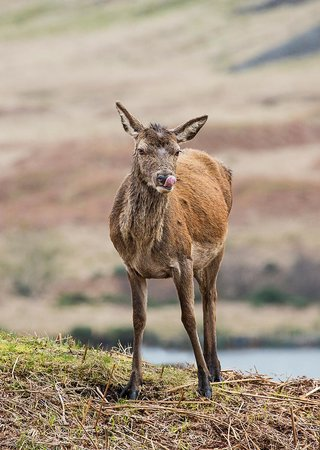 Invercoe Highland Holidays: Deer in Glen Etive