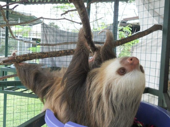 Toucan Rescue Ranch: Learn the difference between two and three toes sloths