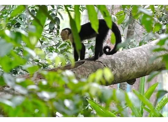 Espadilla Ocean Club: Watching monkeys from porch at EOC!