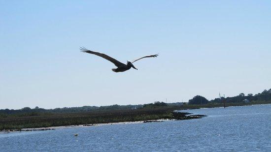 White Ibis Tours: Pelican