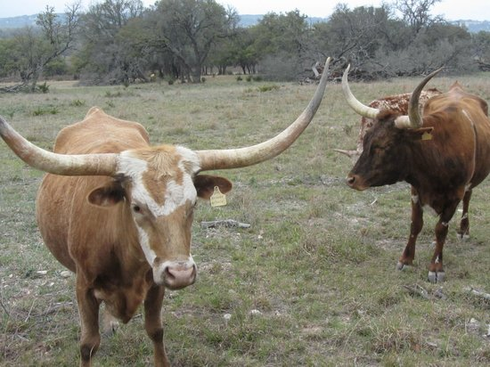 Cabins at Red Rock : Texas Longhorn