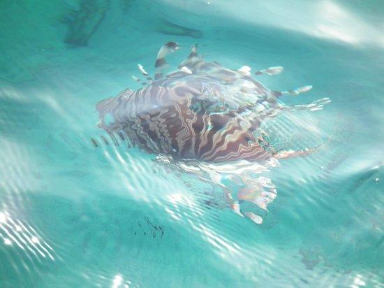 Princess Beach: lion fish