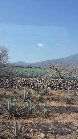 La Rojena : Plantio de agave