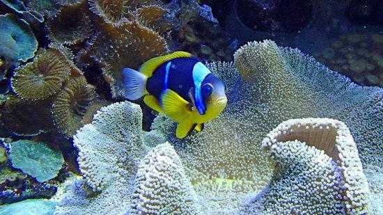 Pesce pagliaccio 2 foto di acquario di genova genova for Immagini pesce pagliaccio
