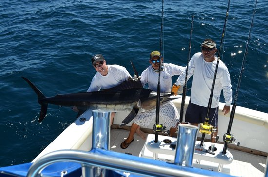 Big Buoy Fishing Charters: 250lb striped marlin realeaed safely