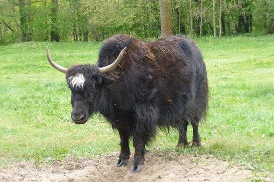 Le Château des Arches : le yak