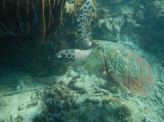 Perhentian Island Resort: Turtle in the sea!